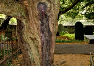 The bleeding yew - Yew tree discharging red sap to look like blood in the entrance of Nevern Church, St Brynach, Nevern, Pembrokeshire